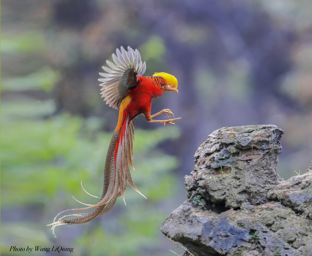 Image result for golden pheasant flying