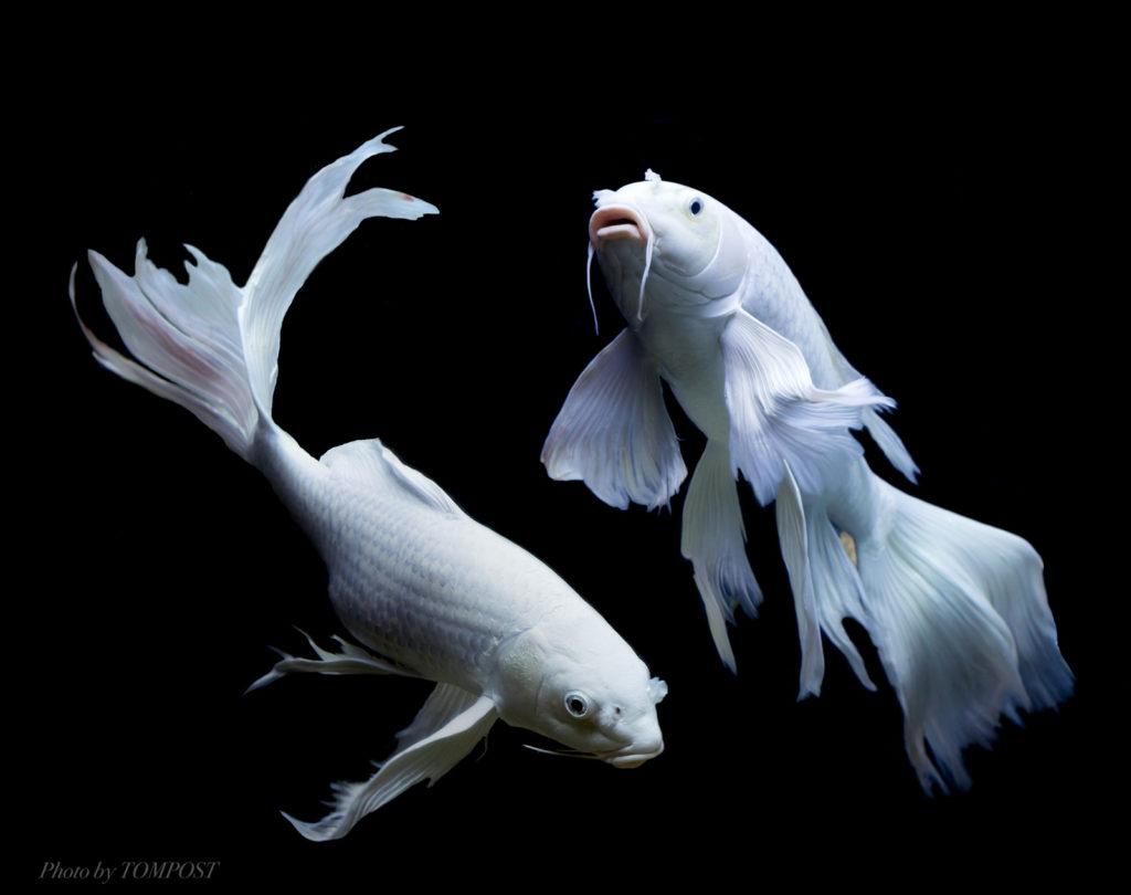 Gogiblog gogimogi for Koi fish life span